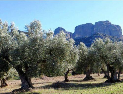 El projecte Identitat extra virgin olive oil, afegeix a la custòdia la finca dels Biarnets.