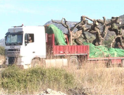 Per fi una llei de protecció de les oliveres monumentals tant esperada com insuficient